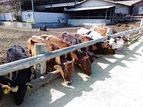 カドーレの牛さんたち