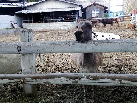 牛乳をめっちゃ見てくるロバ