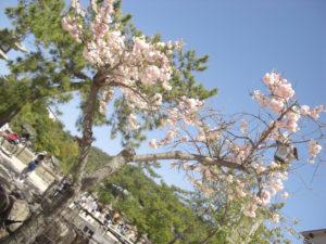 02-09八重桜