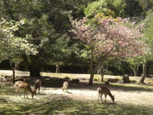 02-08八重桜と鹿