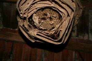 スズメバチの巣 サンプル