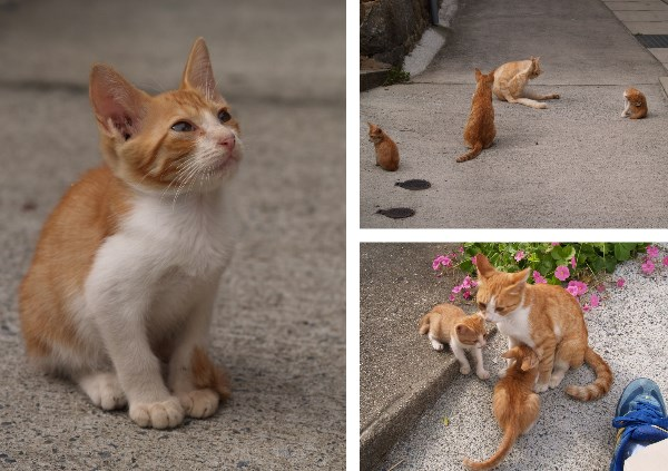 尾道の茶トラの猫たち。子猫もいる。